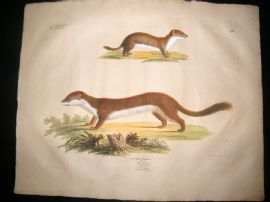 Goldfuss C1830 LG Folio Hand Colored Print. Stoat